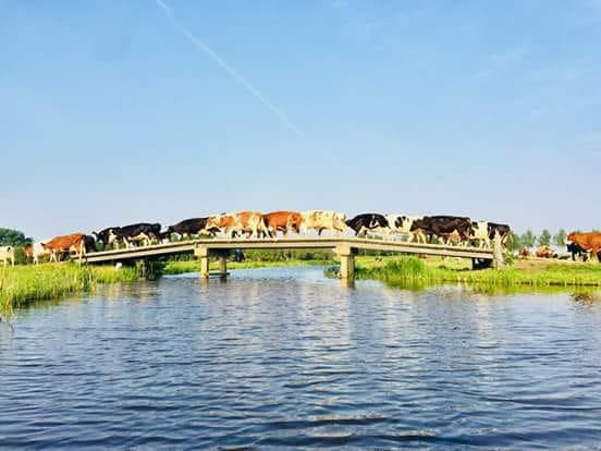 Foto koeien brug